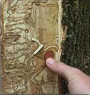 EAB damage to tree